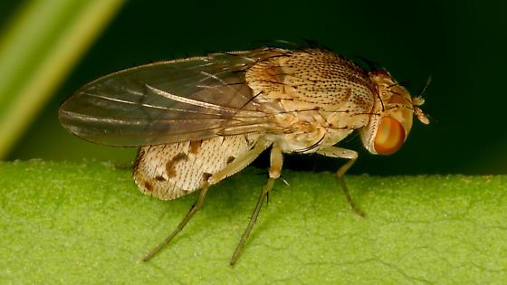 Unknown fly - Curtonotum helvum