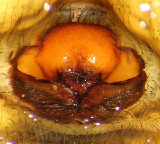 Dolomedes tenebrosus--voucher image - Dolomedes tenebrosus - female