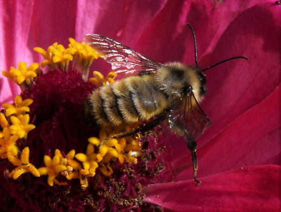 Bumblebee - Bombus pensylvanicus
