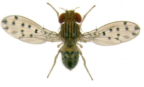 Drosophila guttifera