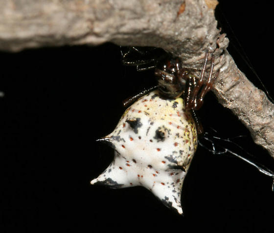 Spider with spikes - Micrathena gracilis - female