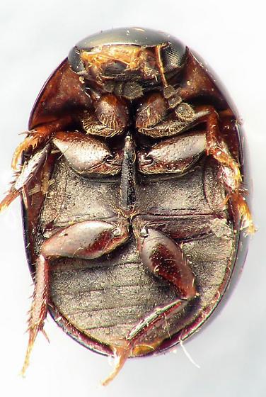 Hydrophilidae - Phaenonotum exstriatum