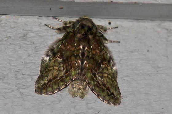 possible Mottled Prominent - Heterocampa umbrata