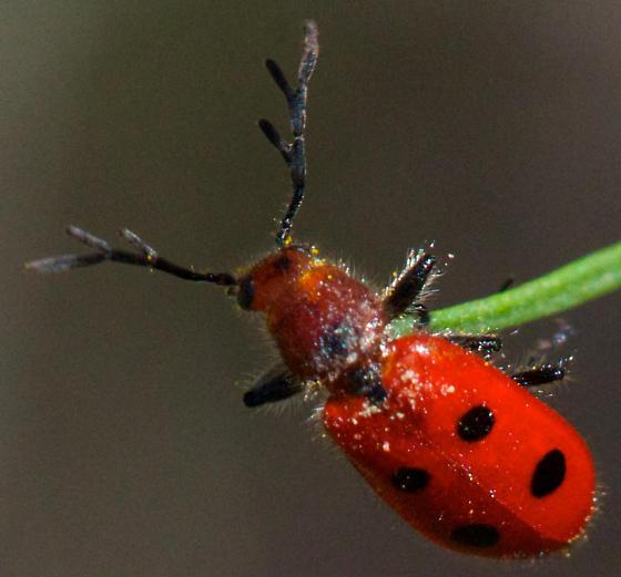small red beetle - Pelonides quadrinotata
