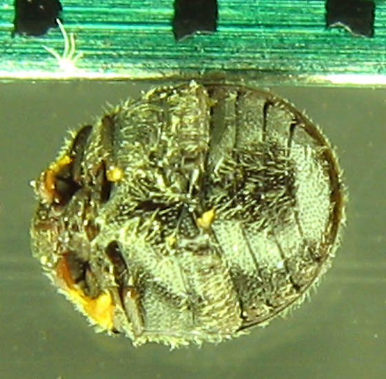 Puffball, not pill scarab - Caenocara
