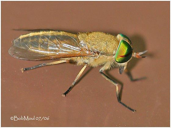 Horsefly - Tabanus quinquevittatus - female