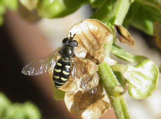Syrphid - Eupeodes volucris - female