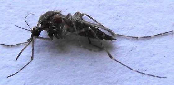 Cattail Mosquito - female