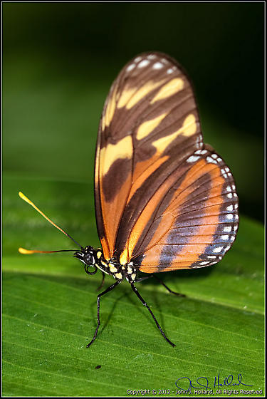 Tiger Mimic-Queen Butterfly - Eueides isabella