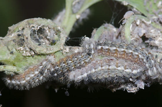Harvester Larvae and Woolly Maple Aphid colony on bristly greenbrier - Feniseca tarquinius