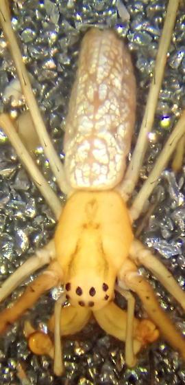 T. laboriosa male - Tetragnatha laboriosa - male