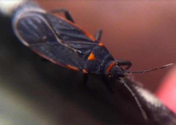 Soapberry Bug? - Melacoryphus lateralis