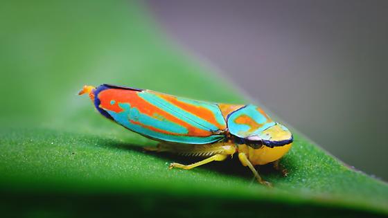 Leaf Hopper? - Graphocephala