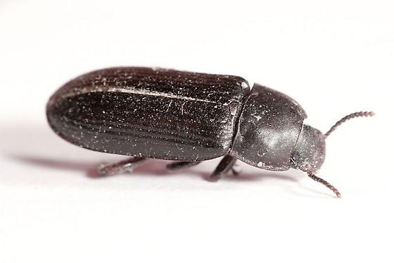 Looks like a darkling beetle, is it? - Tenebrio molitor