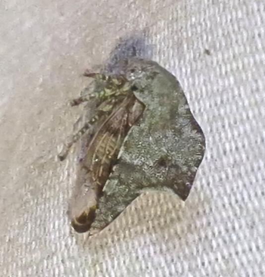 bug at moth lights - Telamona