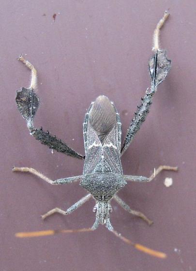 Leptoglossus, different date, same place, same species? - Leptoglossus concolor