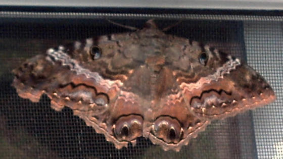 Black Witch Moth - BWM - Ascalapha odorata - female