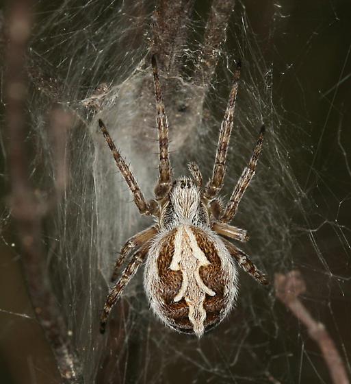 Spider - Aculepeira - female