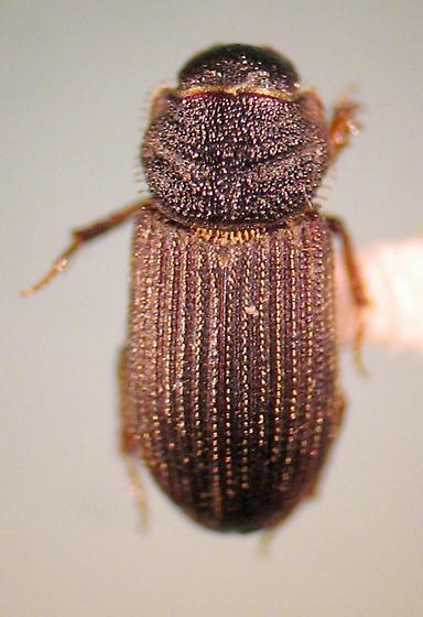 T. riparius - Trichiorhyssemus riparius