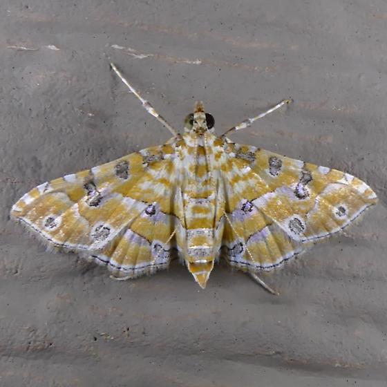 Ommatospila Moth - Ommatospila narcaeusalis