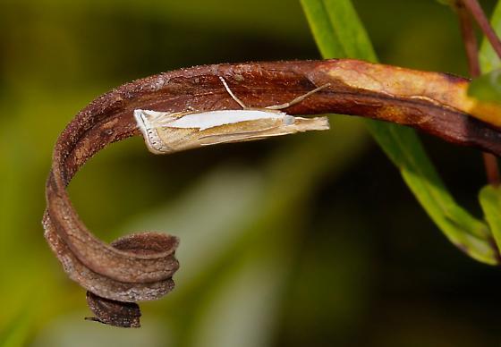 Watson's Grass-Veneer, Crambus watsonellus - Crambus