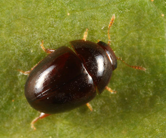 small beetle - Acylomus ergoti