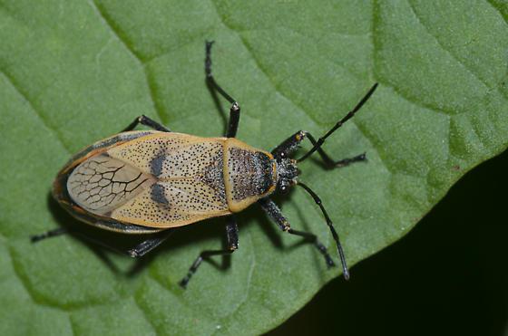 Bordered Plant Bug - Largus maculatus