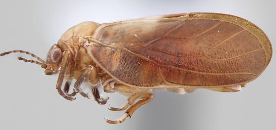 Pachypsylla celtidisgemma - female