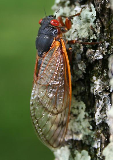 Periodical Cicada - Magicicada septendecim