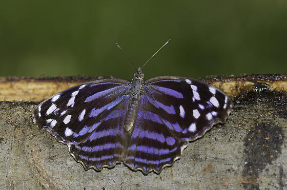 Mexican Bluewing - Myscelia ethusa - male
