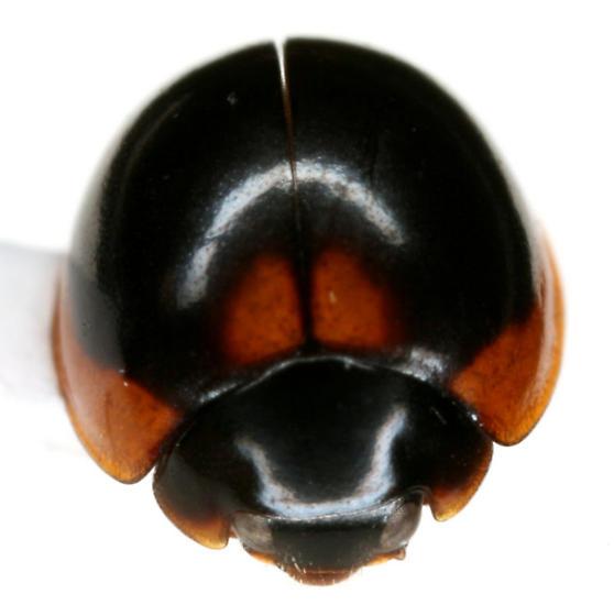 Exochomus subrotundus Casey - Exochomus subrotundus