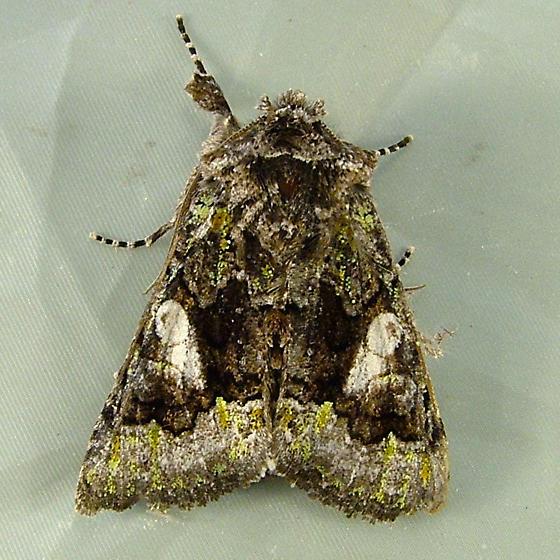 2390 Behrensia conchiformis 10178 - Behrensia conchiformis