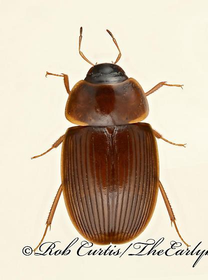 9020013 Helocombus bifidus - Helocombus bifidus