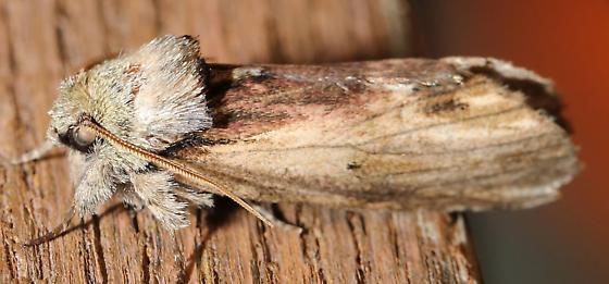 Red-humped Caterpillar Moth - Hodges#8010 (Schizura concinna) - Schizura concinna