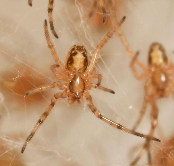 L. mactans? - sling - ventral - Latrodectus hesperus - female