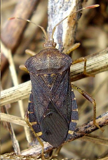 Squash bug - Anasa scorbutica