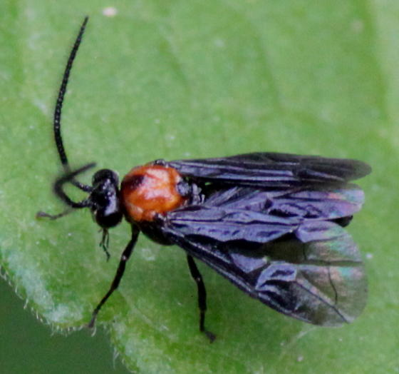 Hibiscus Sawfly - Atomacera decepta