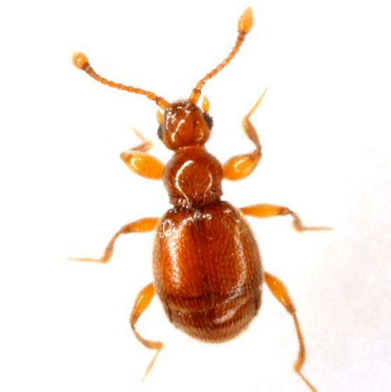 Eutrichites zonatus (Brendel) - Eutrichites zonatus