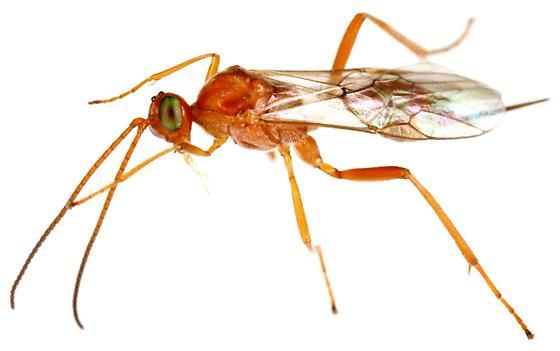 Braconidae? Female? - Meteorus - female