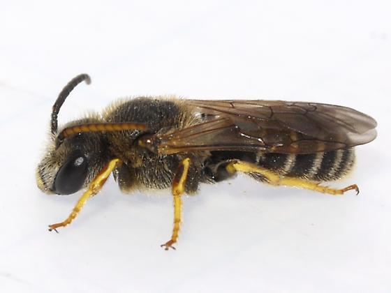 bee - Halictus ligatus - male