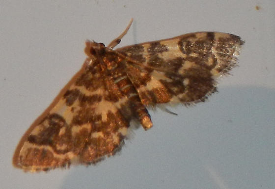 Unknown Moth - Apogeshna stenialis