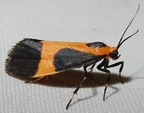 Cisthene kentuckiensis