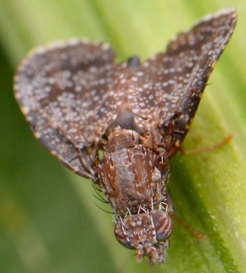 Eutreta rotundipennis ? - Eutreta