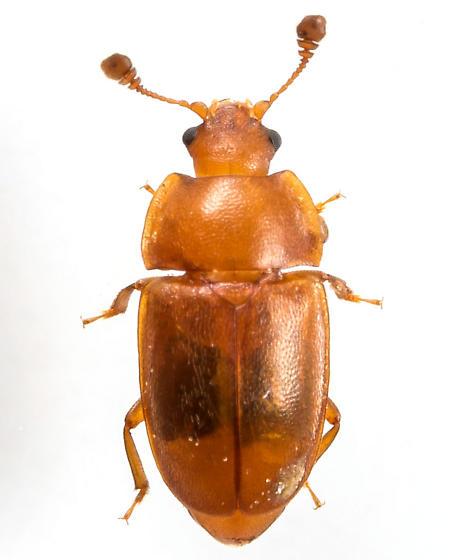 Beetle - Epuraea aestiva - female