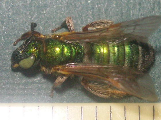 Agapostemon texanus angelicus (Halictidae) in Goldfield. - Agapostemon - female