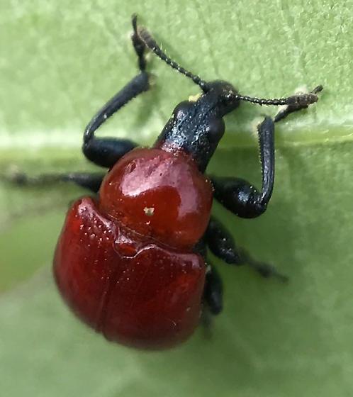 Weevil-like leaf beetle - Homoeolabus analis - female