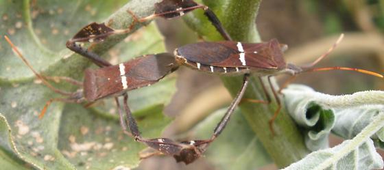 bug - Leptoglossus phyllopus - male - female