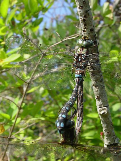 Mating darners - Aeshna verticalis - male - female