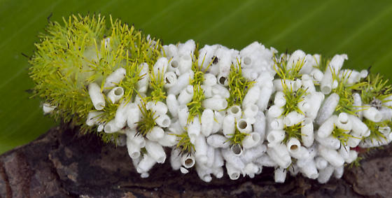 Parasites on IO Caterpillar - Cotesia