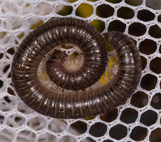 Millipede for ID - Uroblaniulus